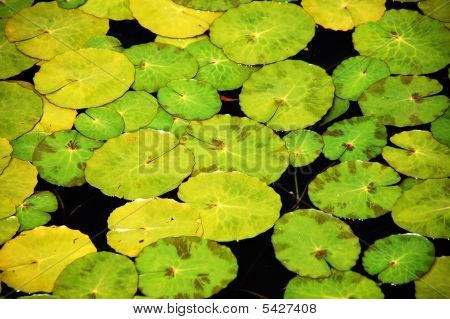 Lilypads In Pond