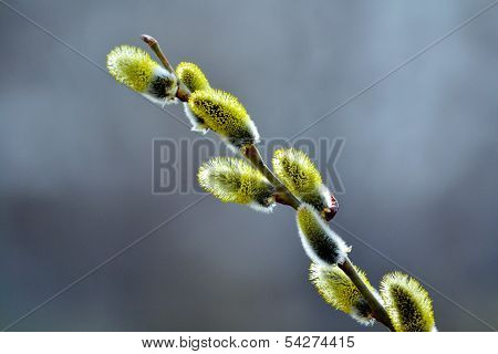 Springtime at May swell buds willow shrubbery