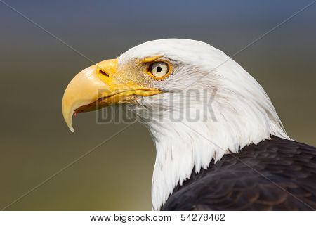 Bald Eagle closeup in green blue background