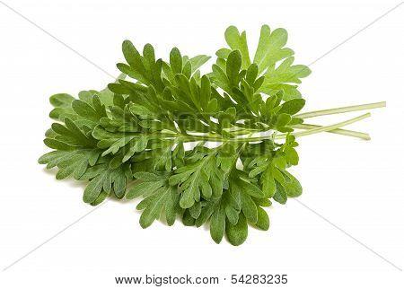 Artemisia Arborescens