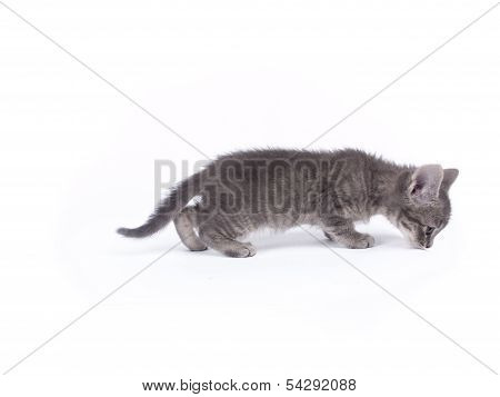 Young Nine Weeks Old Fluffy Grey Striped Kitten Over White Smelling The Floor