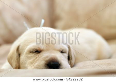 Sweet Yellow Labrador Puppy Portrait Sleeping