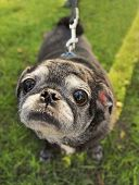 stock photo of pug  - a cute pug at a local park - JPG