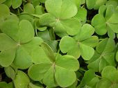 stock photo of clos  - leaves similar to four leaf clovers taken clos up - JPG