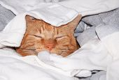 image of laundry  - Ginger tabby cat sleeping in clean laundry  - JPG
