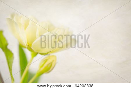 Muted Yellow Rose And Bud With Texture
