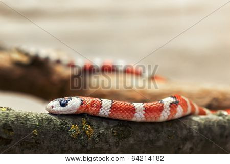 Huachuca Mountain Kingsnake (lampropeltis Pyromelana Woodini)