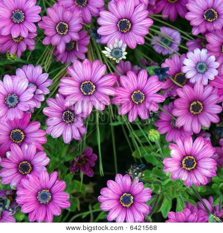 Violet Daisies in Open Field