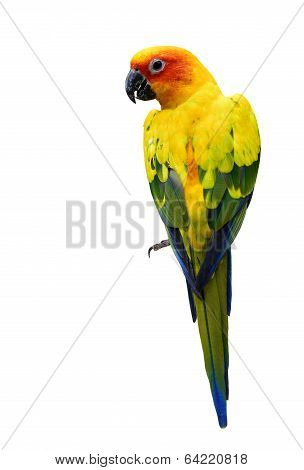 Colorful Sun Conure, The Beautiful Yellow Parrot Bird Isolated On White Background