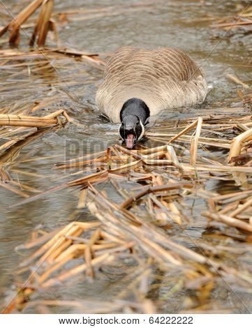 Canada Geese (branta Canadensis) In Water