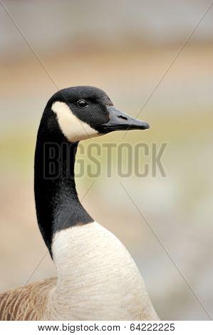 Wild Geese Portrait