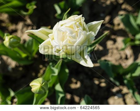 Close-up of white tulip