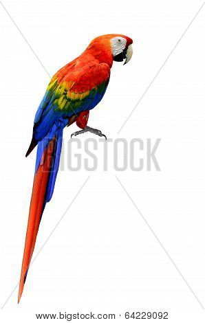 Beautiful Scarlet Macaw Bird In Natural Color With Full Details Of Whole Body And Feet Isolated On W