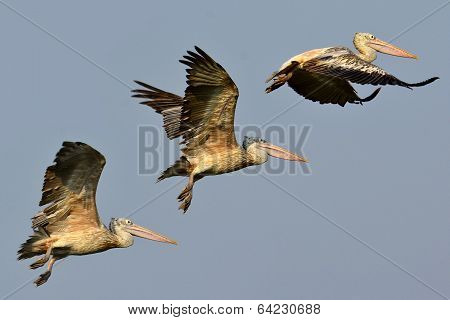Series Of Spot-billed Pelican Bird Flying Off With Nice Blue Sky