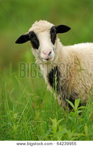 White Sheep In Grass