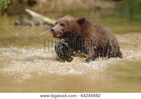 Brown Bear Cub In A Water