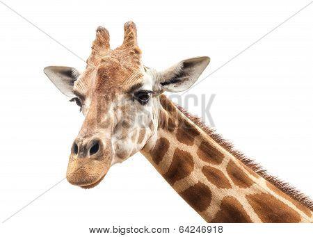 Giraffe Head Against an Overcast White Sky