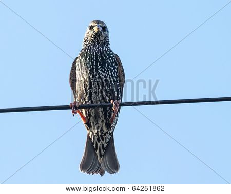 Common Starling On A Wire Against Blue Sky