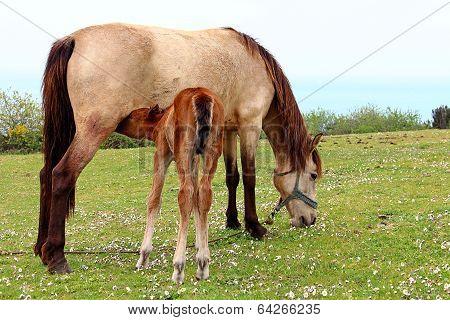 Foal Is Suckling The Milk