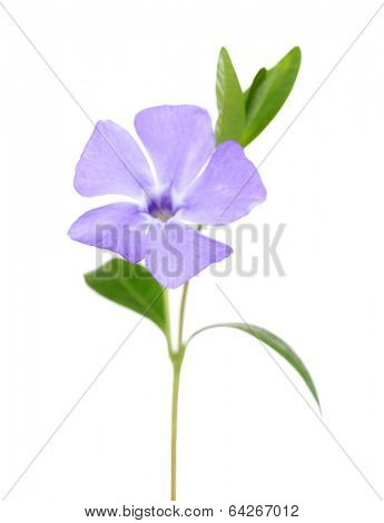 Beautiful periwinkle flower, isolated on white