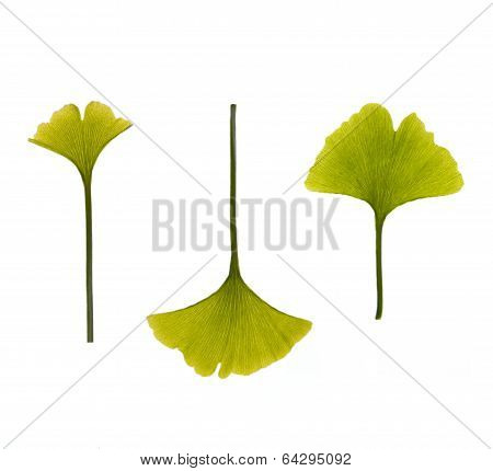 Ginkgo Leaves On White Background