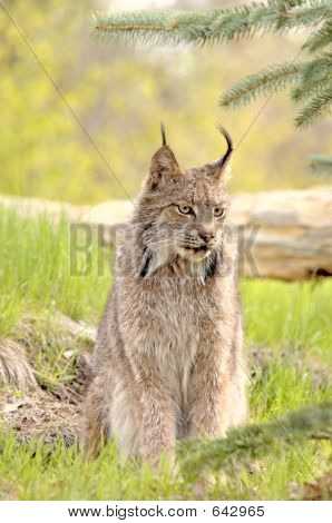 Lynx Canadensis - Looking Right