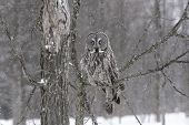 stock photo of snowy owl  - Great Grey Owl in a snow storm - JPG