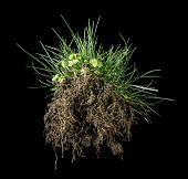 foto of rhizomes  - Black isolated turf grass and earth - JPG