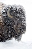picture of aurochs  - Large male bison in the winter season - JPG