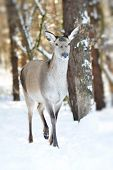 picture of cleaving  - Beautiful deer standing in snow in winter forest - JPG