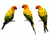 picture of sun perch  - Beautiful Sun Conure the colorful yellow parrot birds isolated on white background - JPG