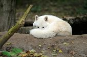 picture of horrific  - Wild wolf in the woods - JPG