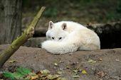 stock photo of horrific  - Wild wolf in the woods - JPG