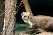 picture of ermine  - Young brown marten in a autumn forest - JPG