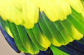 image of green-winged macaw  - Yellow and green parrot bird feathers in close up - JPG