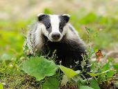 picture of badger  - Badger near its burrow in the forest - JPG