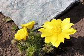 foto of adonis  - Flowers adonis blossoming in the garden in early spring - JPG