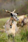 stock photo of goat horns  - Goat in meadow on farm - JPG