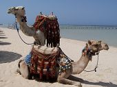 stock photo of dromedaries  - Dromedaries sitting waiting to carry tourists in the desert - JPG
