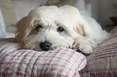 stock photo of dog-house  - Little puppy dog maltese breed resting on cushions - JPG