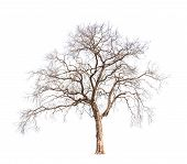 pic of dead plant  - Old and dead tree isolated on white background - JPG