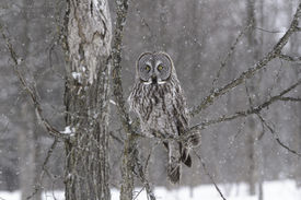 foto of snow owl  - Great Grey Owl in a snow storm - JPG