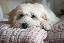 foto of maltese  - Little puppy dog maltese breed resting on cushions - JPG