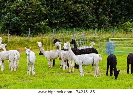 Llamas on farm in Norway - animal nature background
