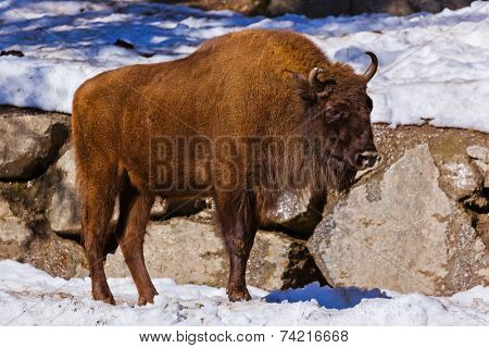 Aurochs - zoo in Innsbruck Austria - animal background