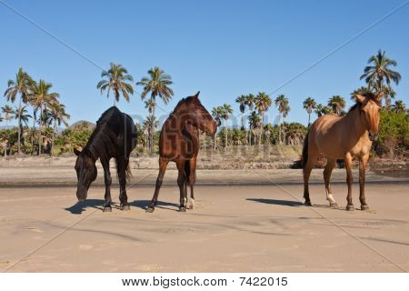 herd of wild horses on a tropical beach