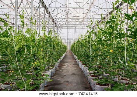 Flied Watermelon In Greenhouse