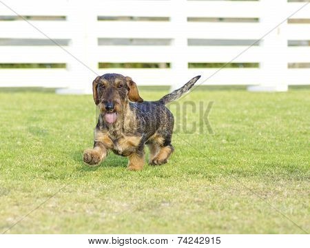Dachshund (wirehaired)