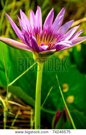 Lotus Flower Or Water Lily
