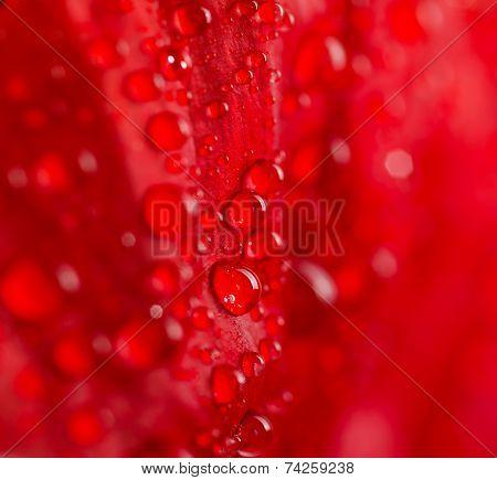 Poppy petal macro